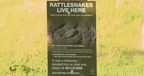 Snakes slithering out of brumation in Lethbridge
