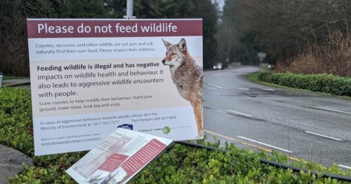 Stanley Park coyote scare the latest hit to struggling businesses, operator says - BC | Globalnews.ca