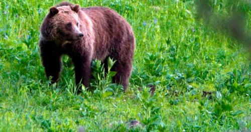 B.C. man attacked by grizzly bear, escapes serious injury: Conservation Officer Service