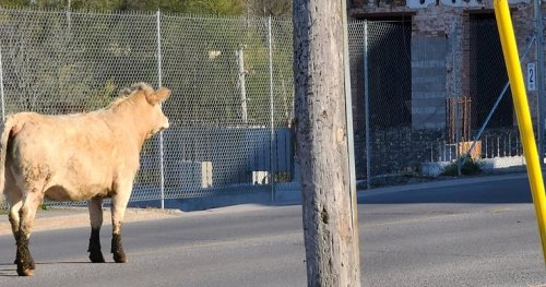 Cow on the loose in Napanee eventually corralled by OPP