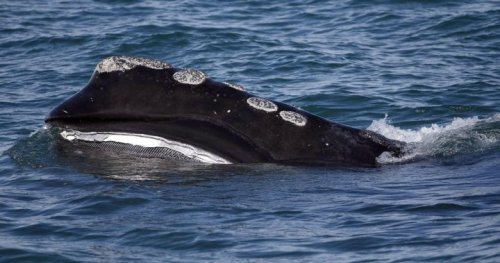 More endangered right whales spotted in Canadian waters, some fishing areas closed