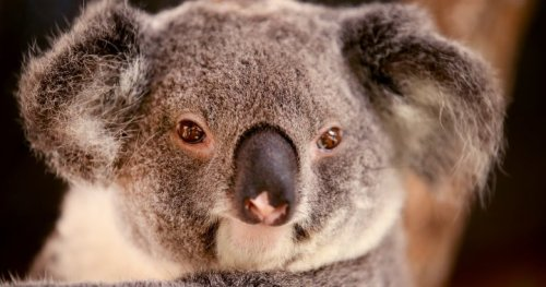 Koala chlamydia vaccine being tested in zoo to help save species - National | Globalnews.ca