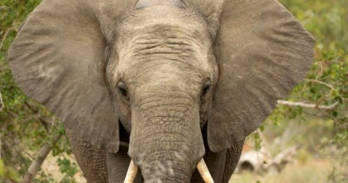 Elephants 'trample' suspected poacher to death in South Africa