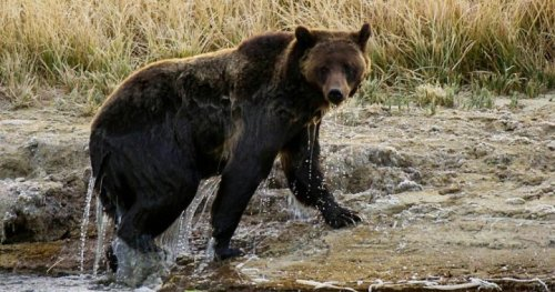 Grizzly bear fatally mauls backcountry guide near Yellowstone Park