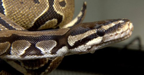 4.5-foot African python is on the loose in Kitchener