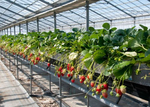 How to Enjoy Strawberry Picking in Japan: 3 Places Near Tokyo Where You Can Find a Great Selection