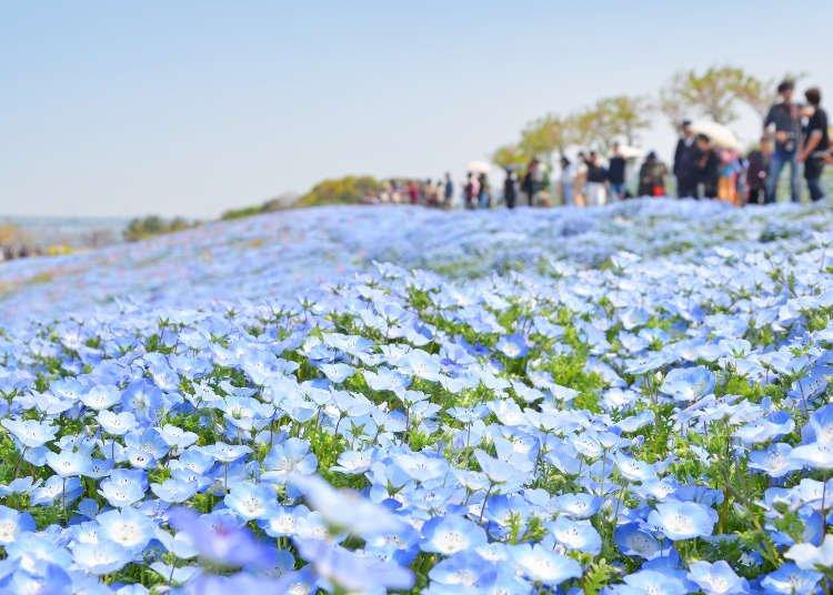 5 Stunning Flower Fields in Kansai To Visit in Late Spring (Hyogo, Osaka, Shiga)