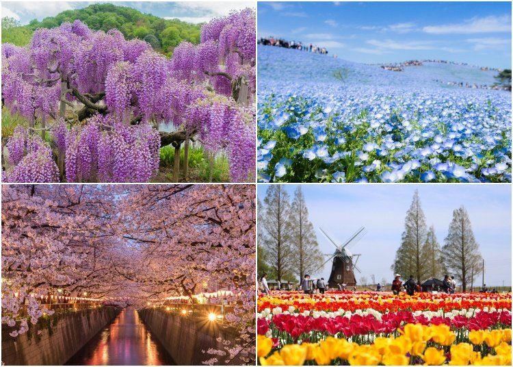 20 Beautiful Japanese Flowers and When & Where to See Them