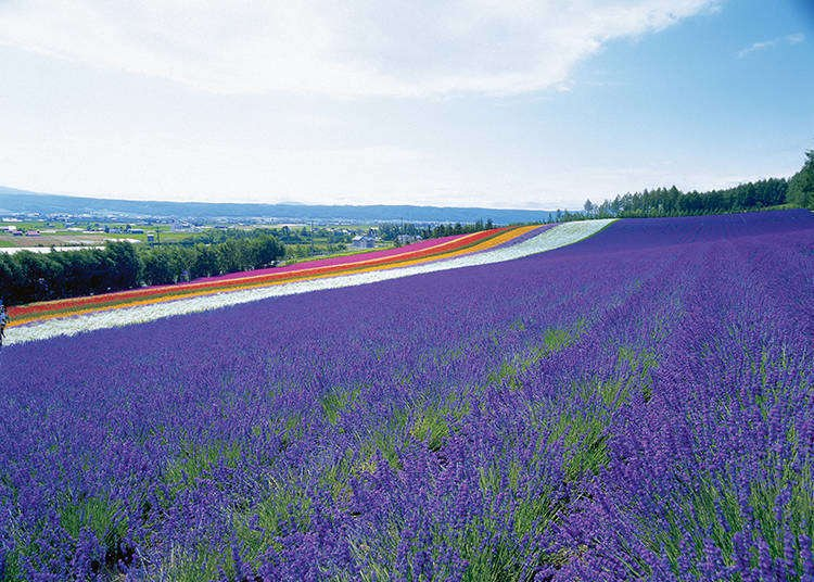 Farm Tomita: Complete Guide to the Breathtaking Hokkaido Lavender Fields You Must See!