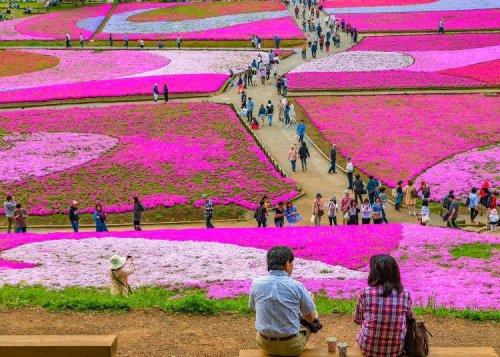 Japan Has Sakura On The Floor?! 'Shibazakura' Colors Hitsujiyama Park Every Spring
