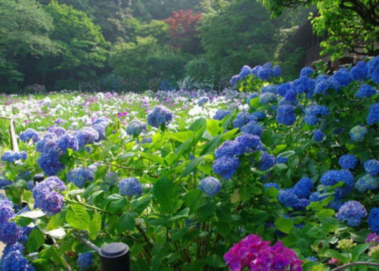 Visit Chiba's Hondoji Temple: Stunning Japanese Gardens Filled With 50,000+ Hydrangeas Will Fill You With Joy!