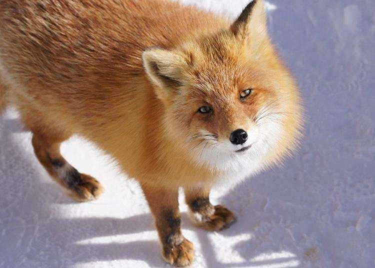 Hokkaido Fox Village: Adorable Guide to the Kitakitsune Fox Farm and Nearby Sights