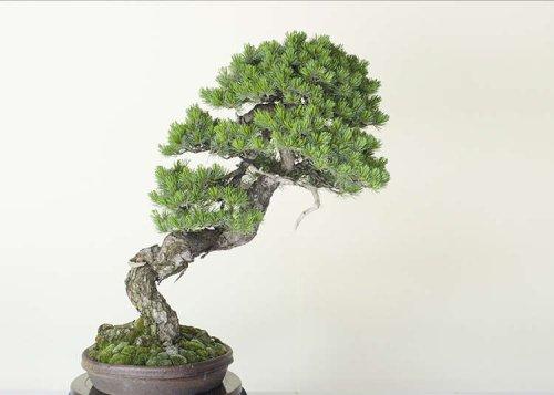 Japanese Bonsai: The Timeless Beauty of Miniature Trees