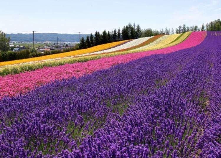 Hokkaido Lavender Fields: 6 Best Places in Furano to See Japan's Dreamiest Purple Meadows