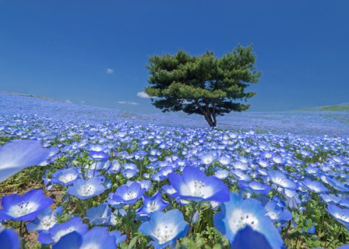 Hitachi Seaside Park: Home to Japan's Dreamy Blue Sea of Flowers! (Nemophila, Tulips & More!)