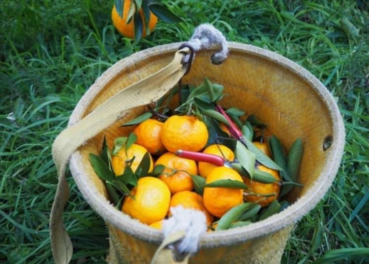 Picking Wakayama Mikan: Japan's Fruit Picking Will Soothe Your Soul