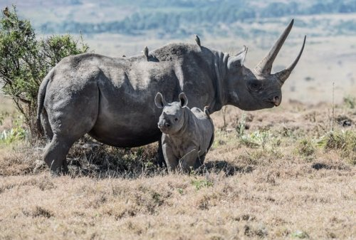 In Kenia wurde 2020 kein einziges Nashorn gewildert – der Bestand wächst
