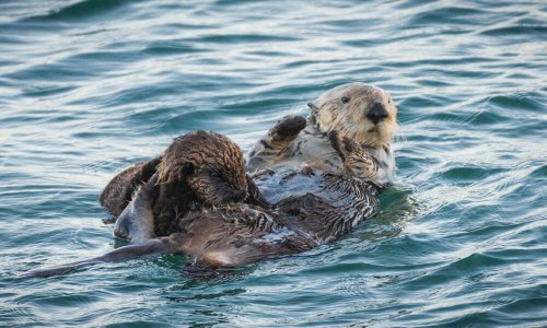 Museum of Natural History's Sea Otter Awareness Week pop-up