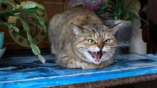 Pourquoi mon chat feule-t-il ?
