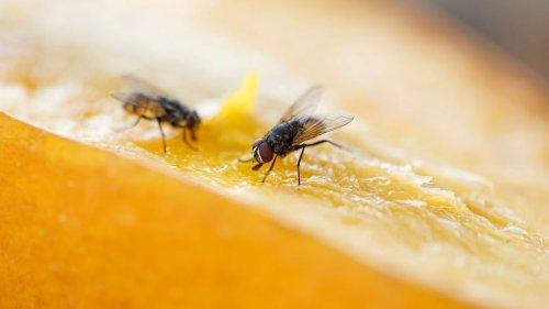 Pourquoi les mouches se frottent-elles les pattes ? Et pourquoi cela peut être très dangereux pour nous, humains ?
