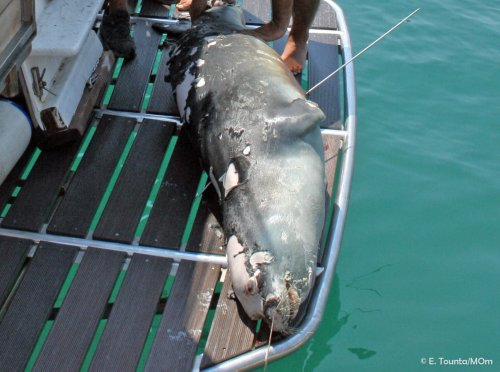 Alonnisos in Shock as Reckless Spearfisherman Kills Island's Mascot Seal