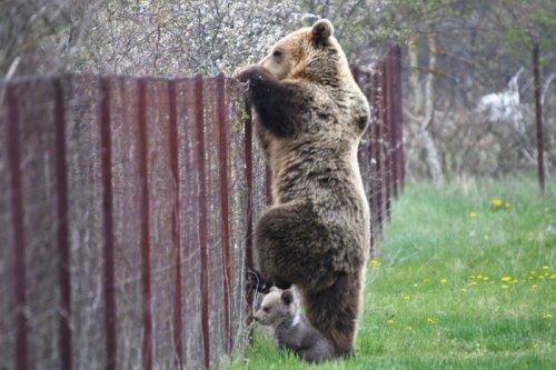 Mother Bear and Cub Filmed Raiding Greek Cherry Orchard