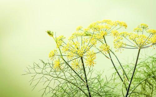 Liquore ai fiori di finocchietto selvatico: una ricetta fenomenale dal sapore che ti stupirà