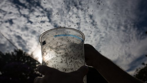 First GMO mosquitoes to be released in the Florida Keys