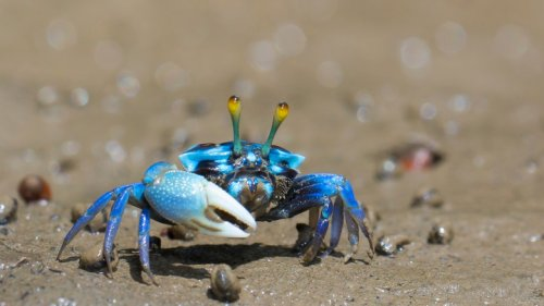 Why Blue Crabs Have Caused Clashes Between North Korea And South Korea