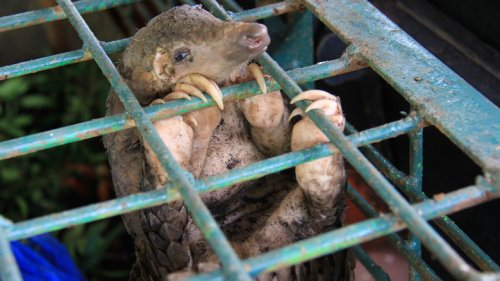 The Sad Truth About Pangolin Trafficking