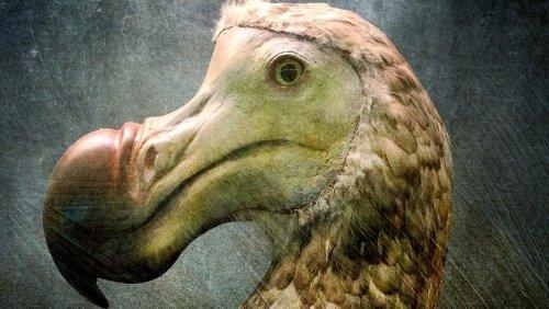 The Reason Dodo Birds Went Extinct