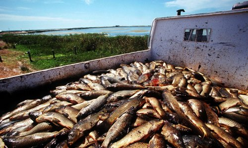 Australian government plan to capitalise on carp orgies to cull the pest species with herpes virus