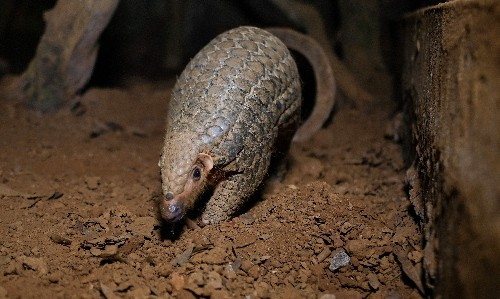 China still allowing use of pangolin scales in traditional medicine