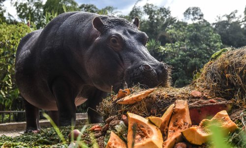 'I was terrified': the vet sterilizing Pablo Escobar's cocaine hippos