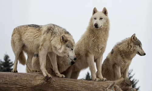 Idaho is going to kill 90% of the state's wolves. That's a tragedy – and bad policy