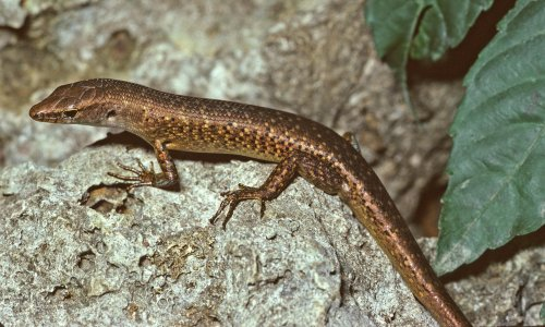 Australia confirms extinction of 13 more species, including first reptile since colonisation