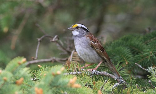 Canadian sparrows ditch their old song for catchier tune
