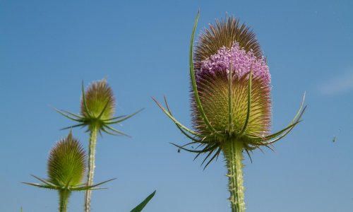 Country diary: danger lurks everywhere on the time-hardened teasel