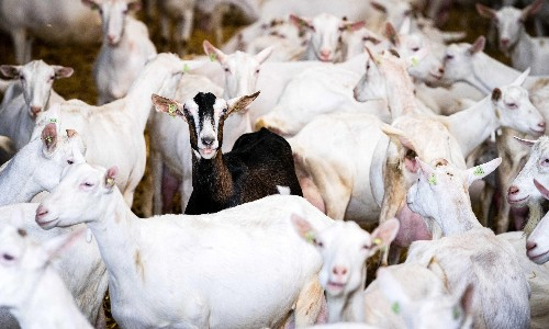 'We need answers': why are people living near Dutch goat farms getting sick?