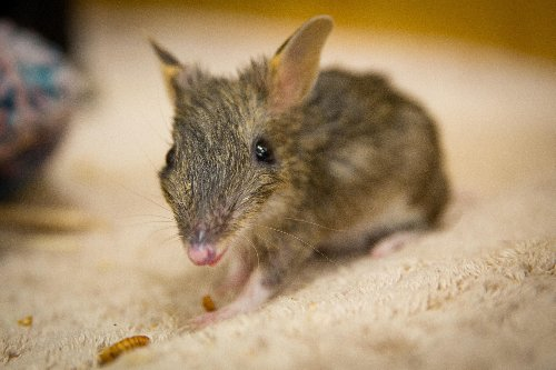 Zoos Victoria trials 'guardian dogs' to help protect endangered bandicoots from foxes