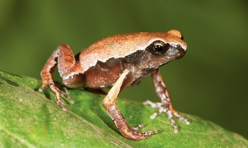 Dancing, starry dwarf and narrow-mouthed: new species make India a frog paradise