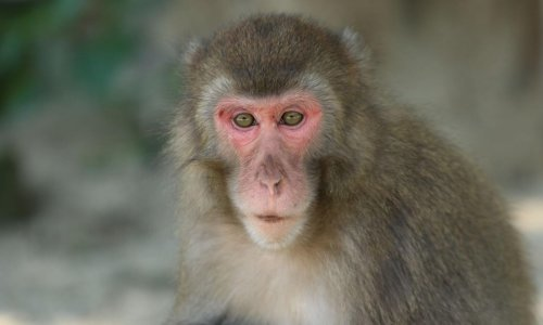 Macaques at Japan reserve get first alpha female in 70-year history