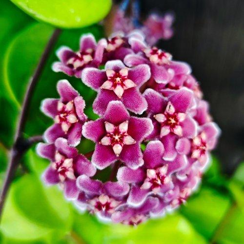 How to grow hoya