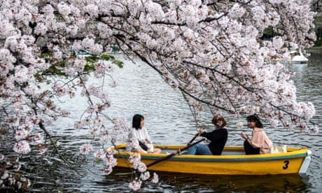 Japan's cherry blossom bloom - in pictures