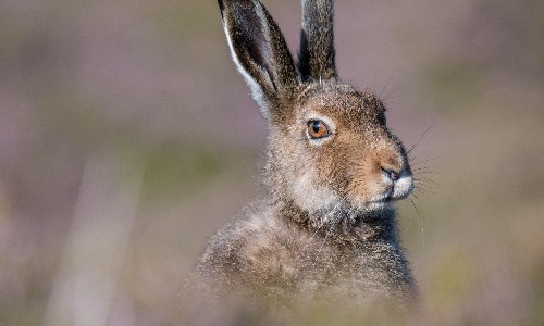 Mountain hares at risk as winter coats fail to camouflage in snowless Scottish Highlands