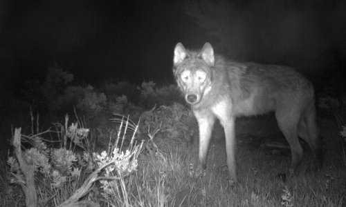 Colorado records first litter of gray wolf pups since 1940s