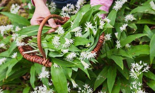 A new leaf: 17 wonderful ways with wild garlic – from cornbread to a chorizo tortilla