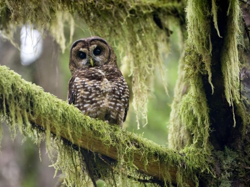 How Canada is trying to protect its last three spotted owls