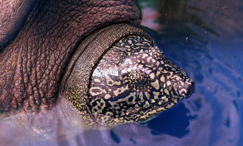 Hopes for most endangered turtle after discovery of female in Vietnam lake