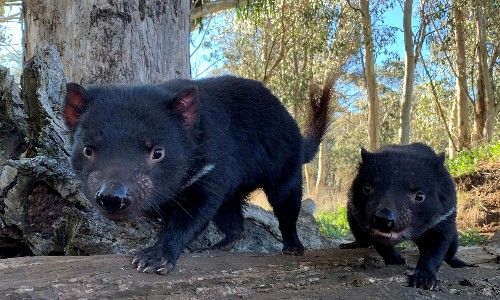 'Amazing evolutionary response': Tasmanian devil gains edge in battle with devastating facial cancer